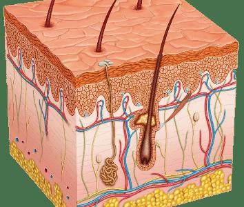 bindweefsel huid